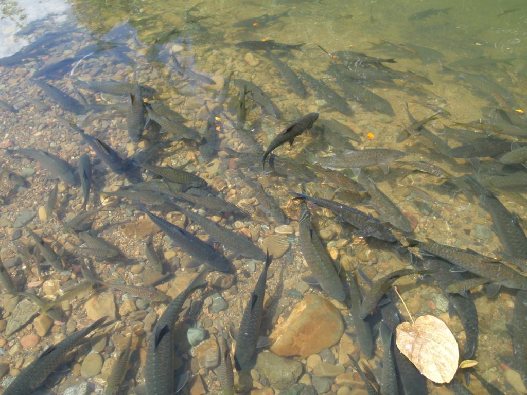Kelah Fish Spa